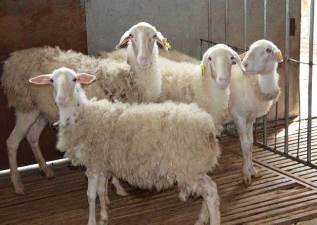 湖羊养殖技术