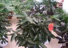 平安树的养殖方法和注意事项