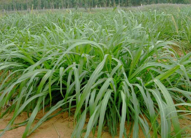 牧草种植技术