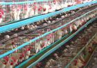 蛋鸡养殖成本和利润