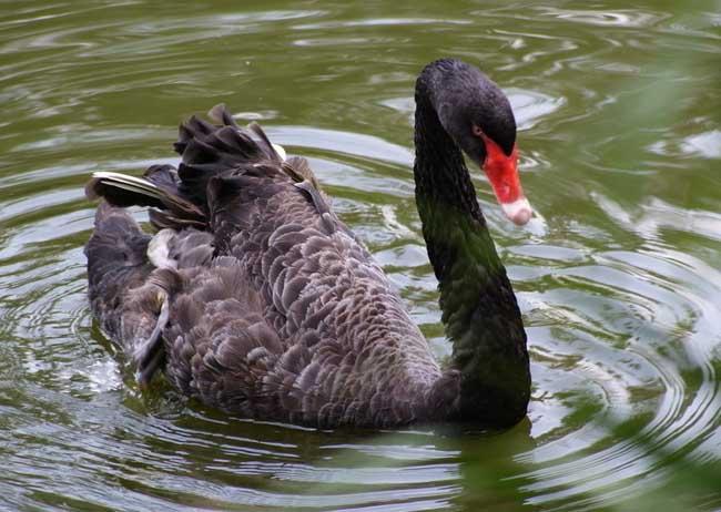 黑天鹅的养殖前景