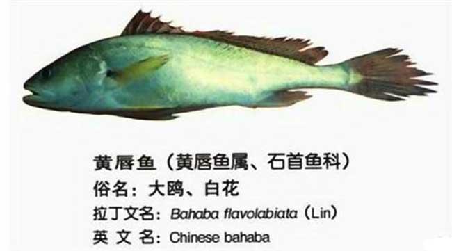 黄唇鱼图鉴