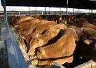 架子牛快速育肥技术