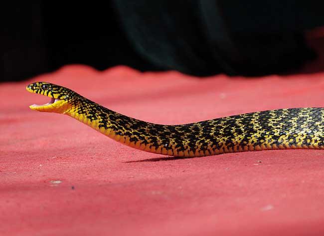 大王蛇图片