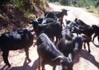 黑山羊的品种有哪些?