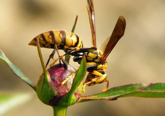 胡蜂养殖技术及视频