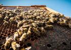 蜜蜂的发育过程