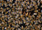 蜜蜂养殖的基础管理