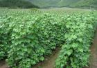 芸豆的种植技术