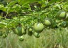 百香果有种植前景吗?