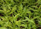 养殖富贵竹有什么作用?