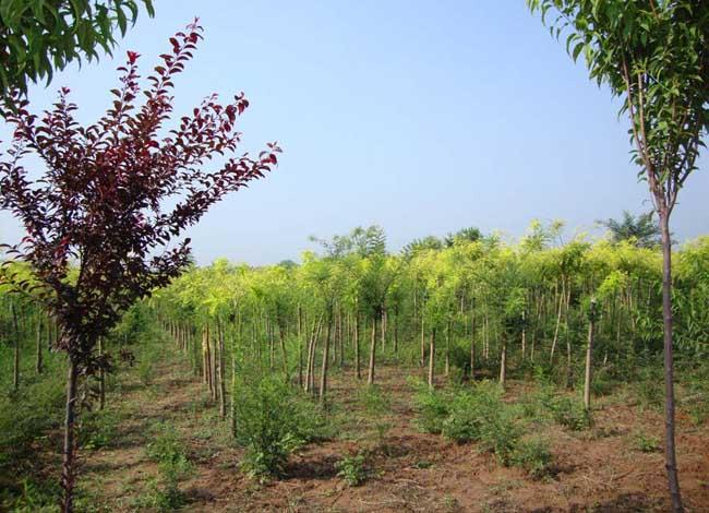种植什么树苗最赚钱?
