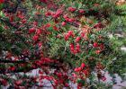 红豆杉种子怎么种?