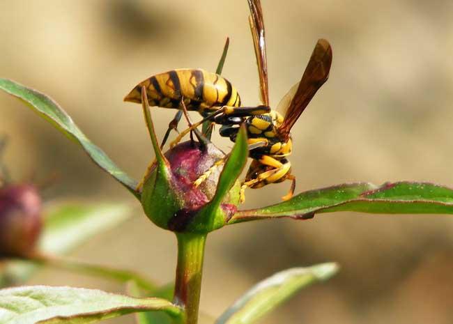 胡蜂的天敌