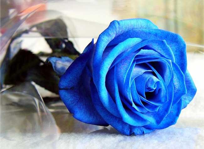 蓝玫瑰的花语是什么?
