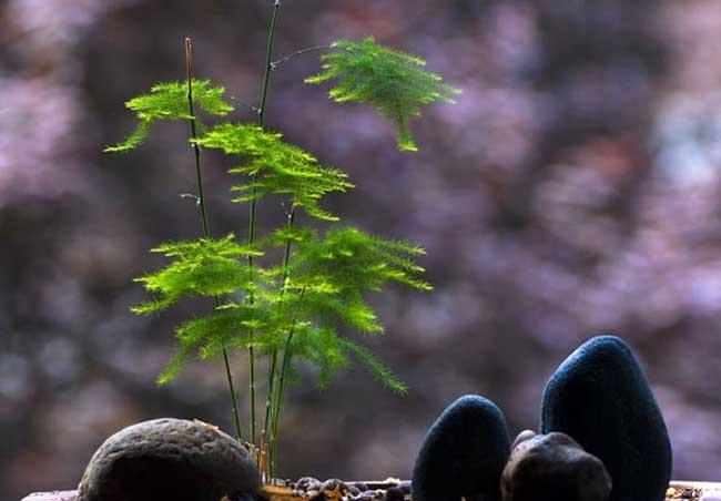 文竹盆景制作方法