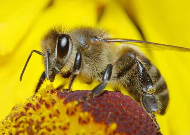 蜜蜂的群体生物学特性