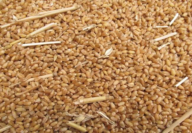 贵州小麦市场价格