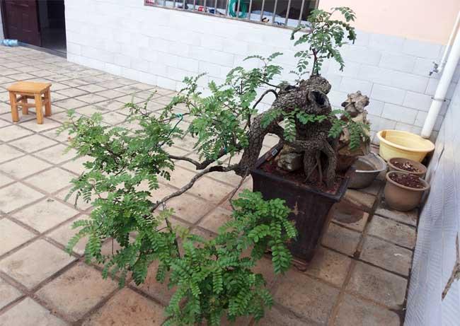 清香木盆景的制作方法