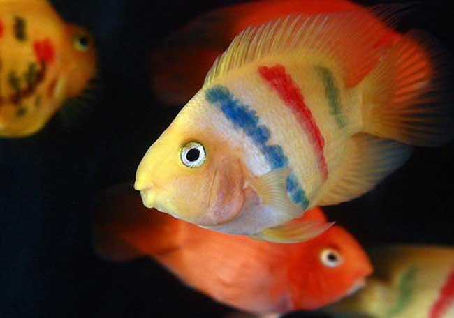 鹦鹉鱼吃什么食物?