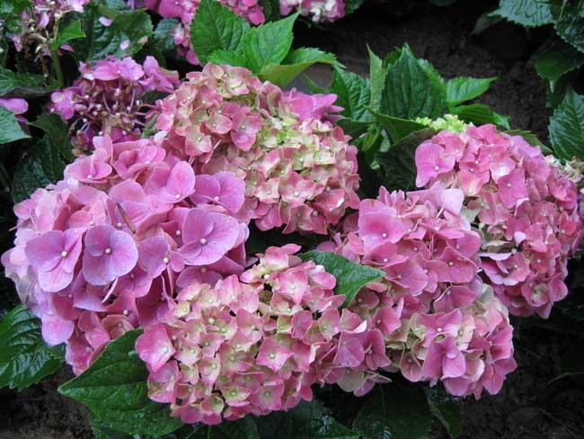 绣球花的繁殖方法有哪些?