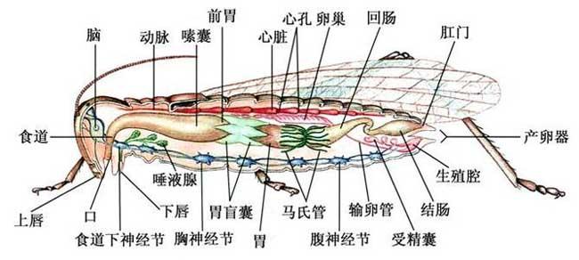 蝗虫的生理结构