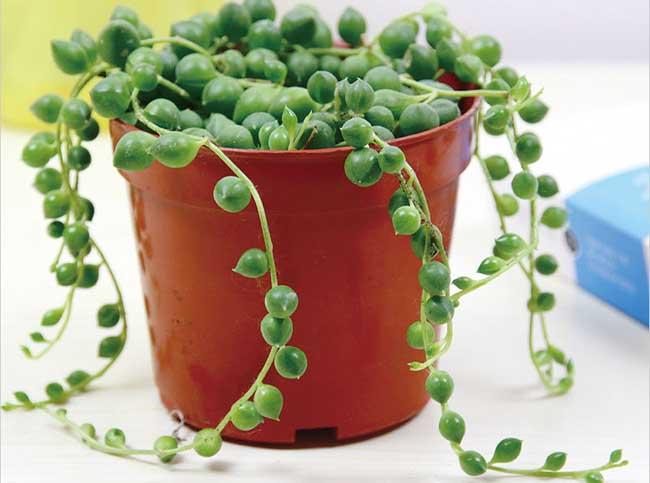 珍珠吊兰的养殖方法