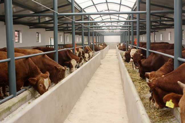 如何才能科学养牛?