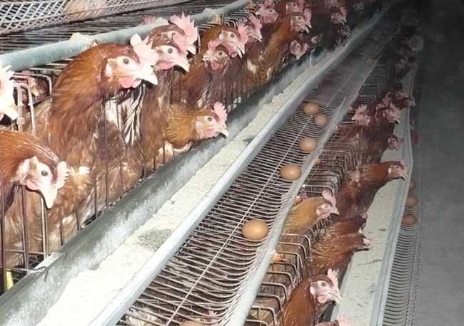 养鸡场投资成本