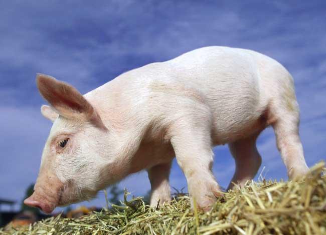 猪的生活习性及行为特点