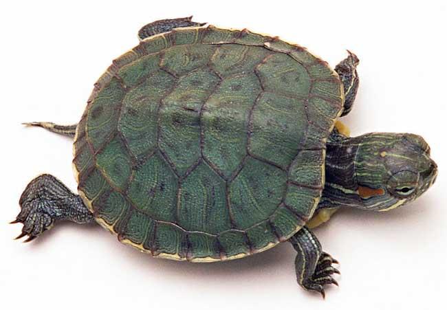 乌龟常见疾病防治技术