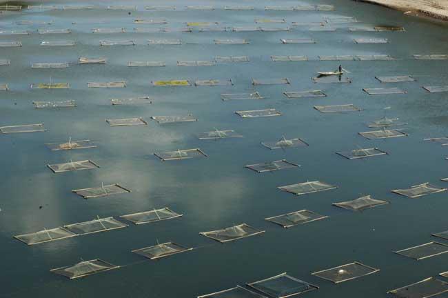 大面积水产养殖如何杀虫?