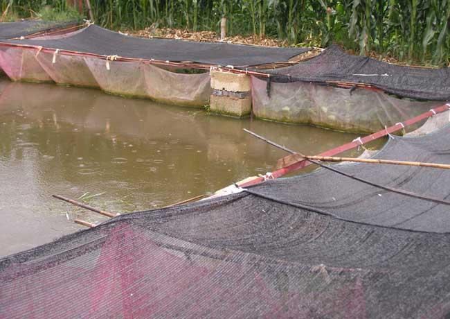 黄鳝养殖中生石灰的使用注意事项