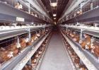 蛋鸡产蛋量下降怎么办?