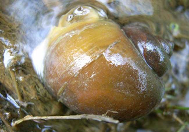 福寿螺与田螺的区别有哪些?