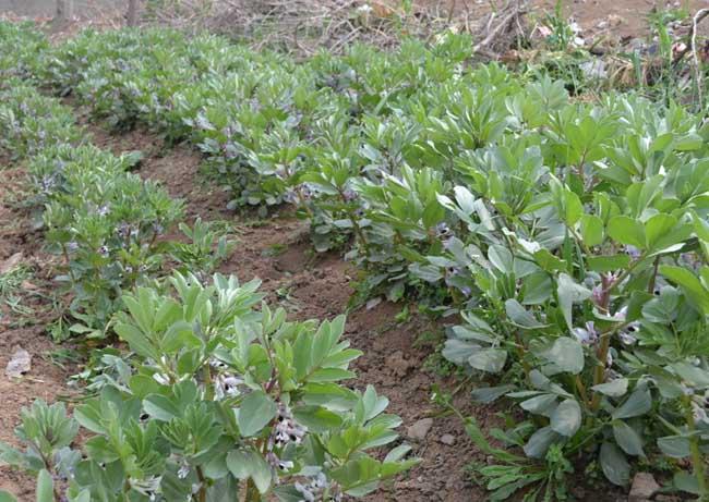 蚕豆的种植技术