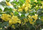 一般桂花是在几月开花?