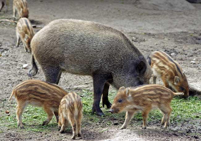 如何为野猪选择优良饲料?