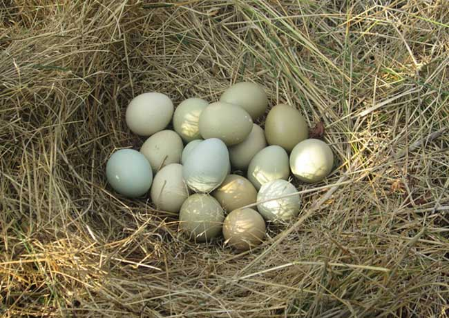 野鸡种蛋的保存技术