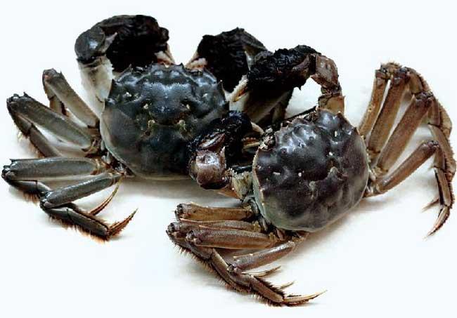 秋季河蟹死亡的原因