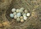 野鸡种蛋的保存技术?