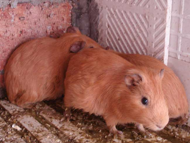 黄豚养殖场地的建设方法