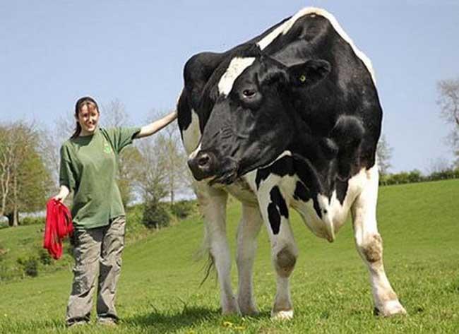 世界上最大的奶牛