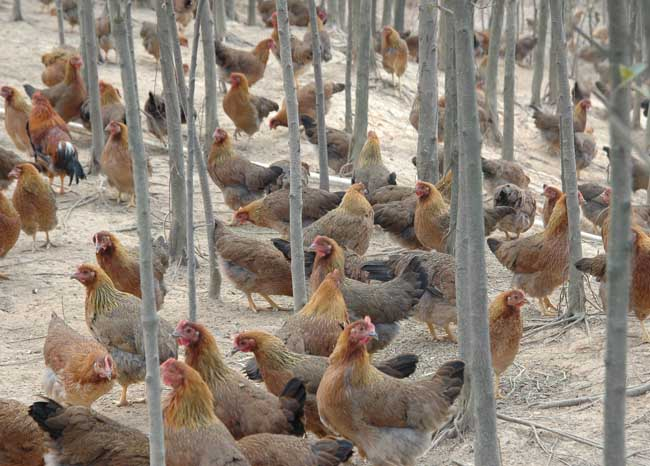 清远麻鸡的养殖技术