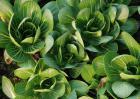 青菜的四季种植方法