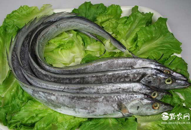 带鱼能人工养殖吗?