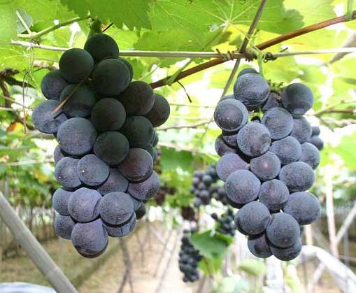 夏黑葡萄种植技术视频