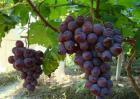 巨峰葡萄种植技术视频