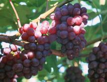 葡萄种植技术视频