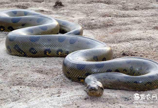 你知道世界上最大的蛇是什么吗?